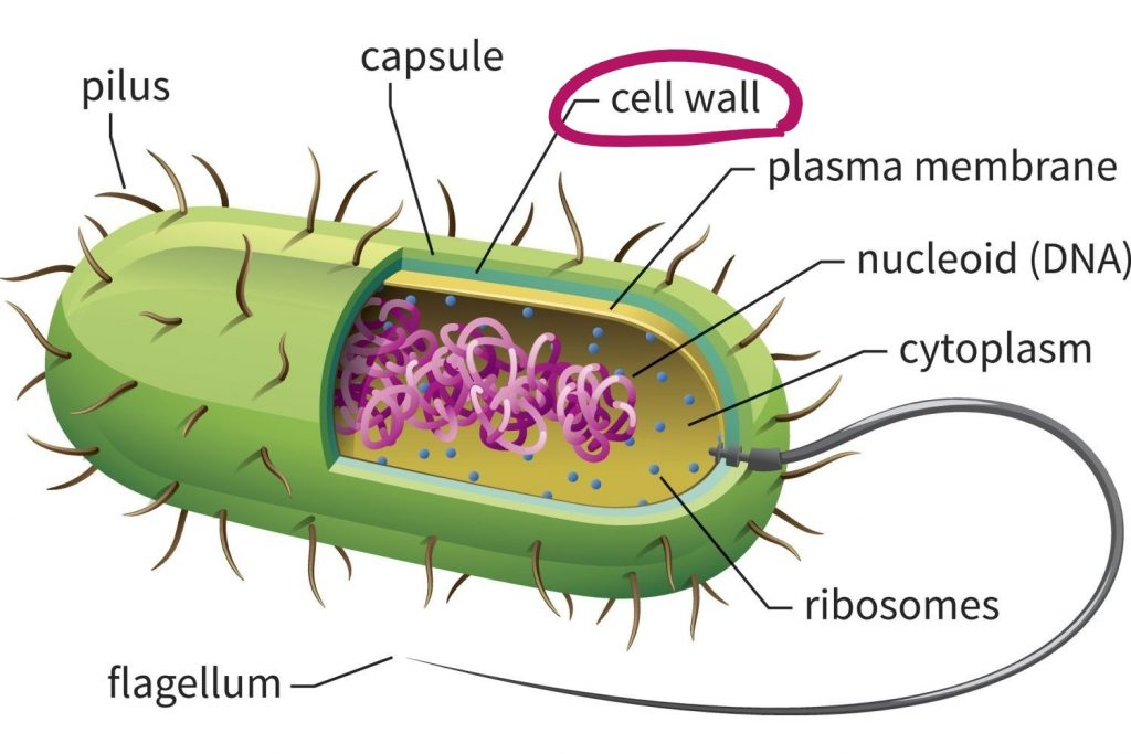 bacteria_cell_drawing